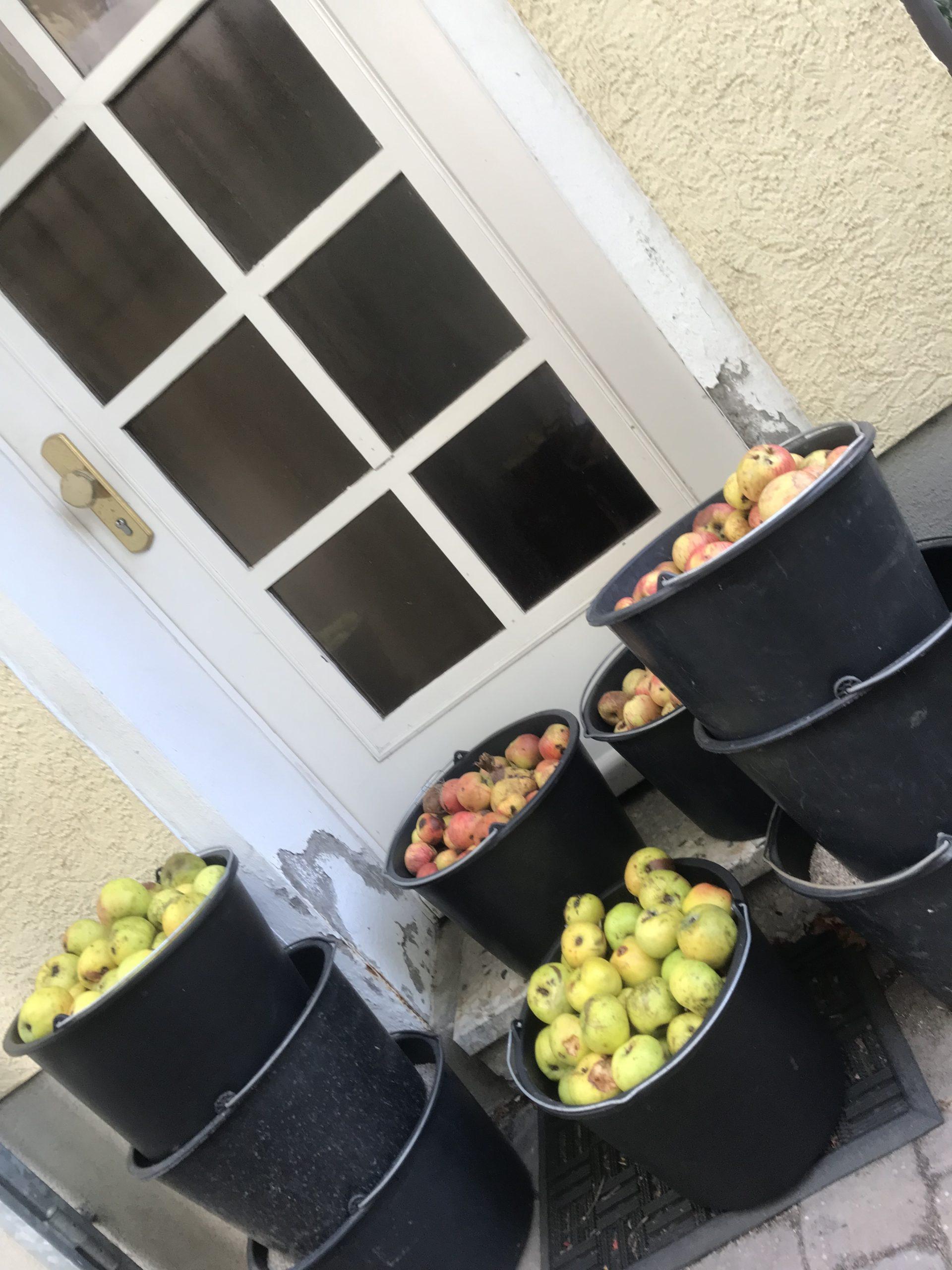 Viele Eimer mit aufgesammelten Äpfeln